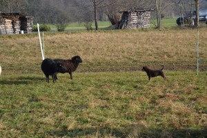 Maddox trifft zum ersten Mal ein Schafe