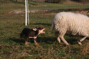 Schafe fangen macht Spaß!