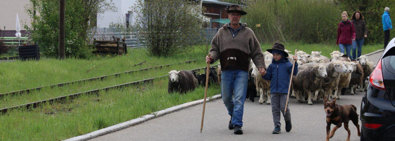 Herdwickzucht am Breitenbach